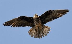 Falco Cala Fico1